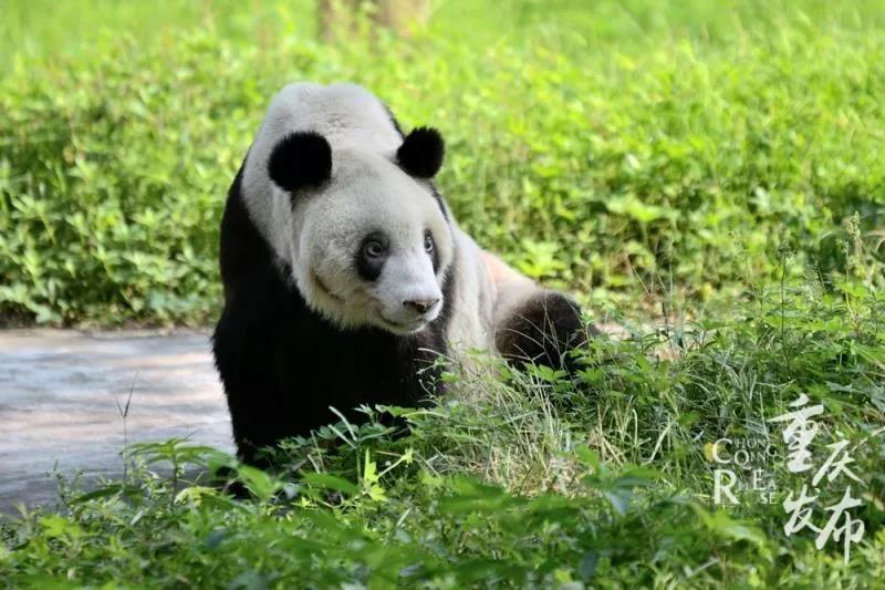 重庆动物园两只熊猫妈妈同日产下双胞胎